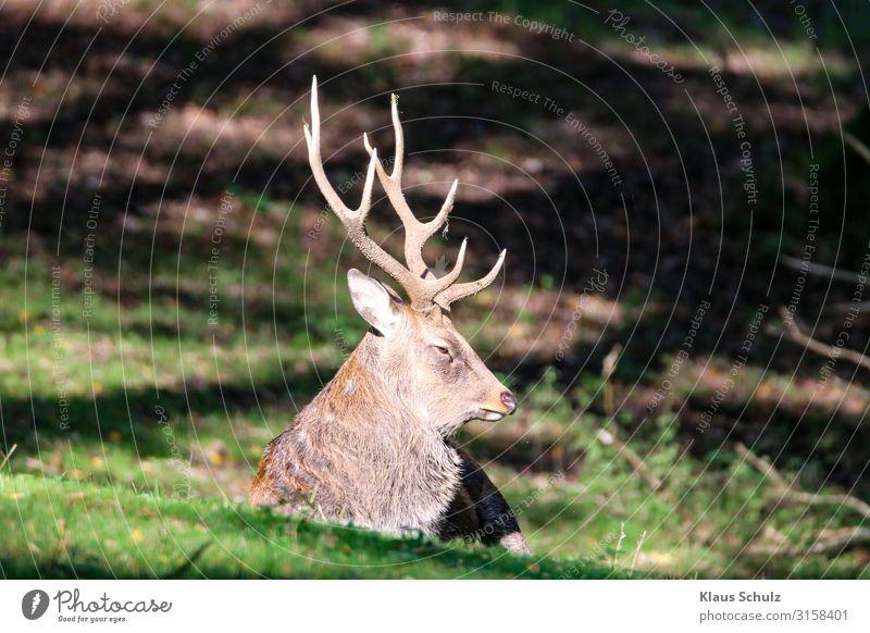 Rothirsch liegt im Wald Wild Schalenwild Geweih Liegen Wiederkäuen Nature