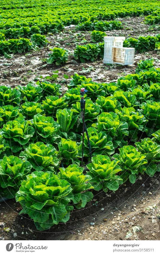 Big ripe lettuce in outdoor industrial farm. Growing lettuce Plant Growth Fresh Natural Mature picking plantation rows crates Industrial Ground