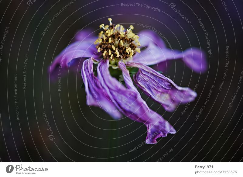Withered Nature Plant Flower Blossom Dark Dry Wild Violet Decline Transience Limp Faded Colour photo Close-up Macro (Extreme close-up) Deserted Copy Space left