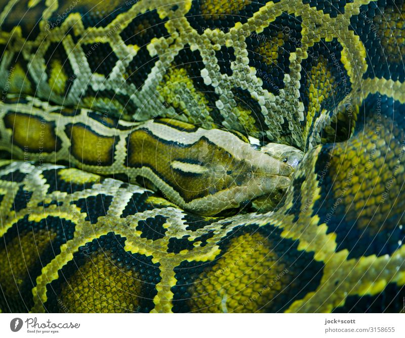 attention olive-green Green Animal Exceptional Authentic Wait Long Anacondas