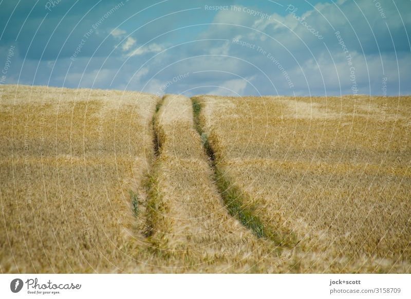 summer wheat Landscape Sky Clouds Summer Wheatfield Müritz Rut Growth Authentic Long Warmth Symmetry Lanes & trails Panorama (View) Ecological Agriculture