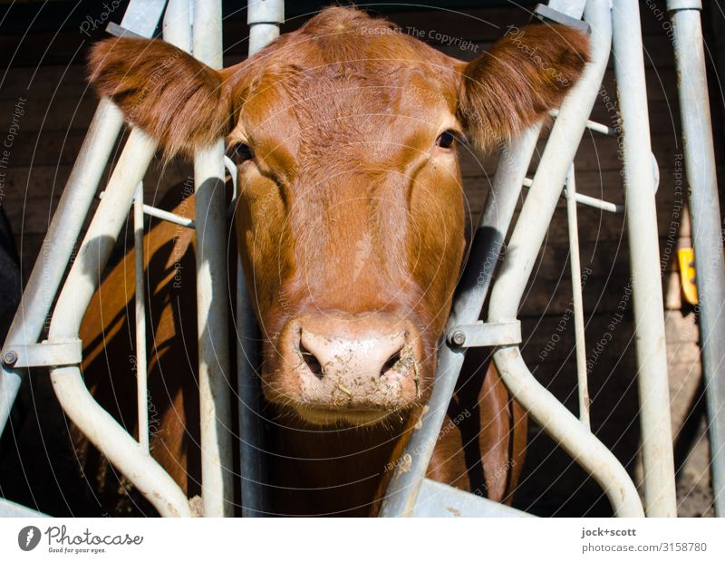 cow between Agriculture Forestry Farm Cowshed Beautiful weather Franconia Farm animal 1 Animal Grating Metal Stripe Observe Stand Authentic Large Brown Moody