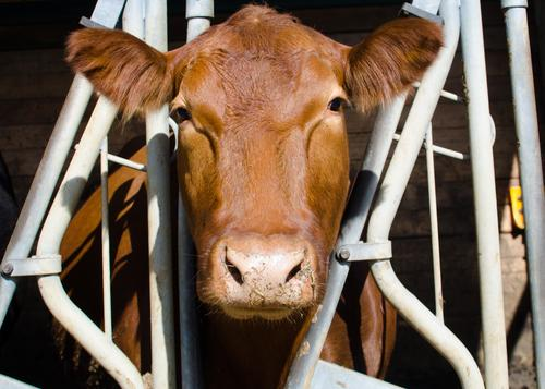 Cow without Moo Agriculture Farm Cowshed Farm animal 1 Grating Metal Observe Authentic Brown Serene Life Senses Symmetry Keeping of animals Captured