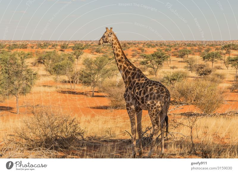 Giraffe with view :-) Vacation & Travel Trip Adventure Far-off places Freedom Safari Expedition Environment Nature Landscape Earth Sand Sky Cloudless sky Sun