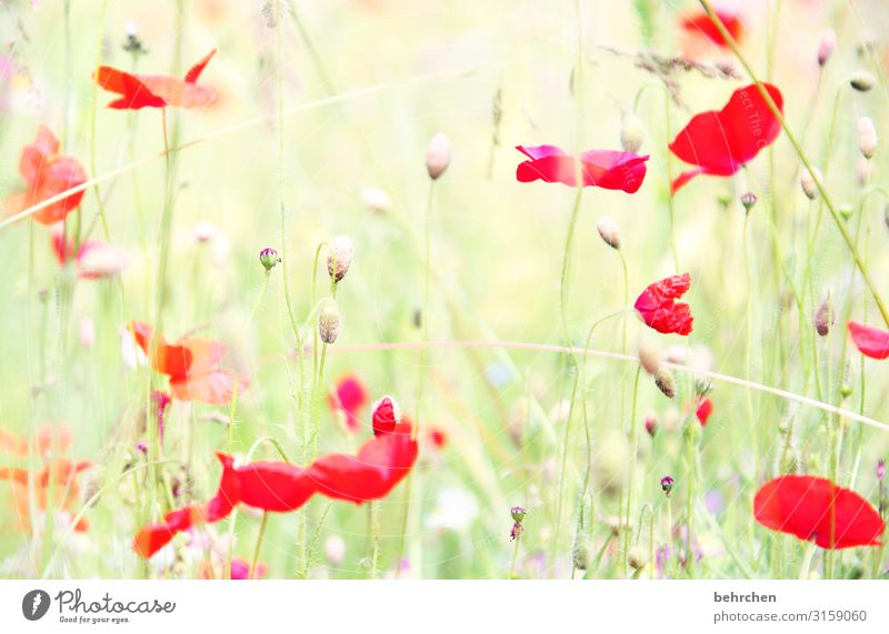 blurry every mo(h)nday morning Environment Nature Landscape Summer Plant Flower Grass Leaf Blossom Agricultural crop Wild plant Poppy Garden Park Meadow Field