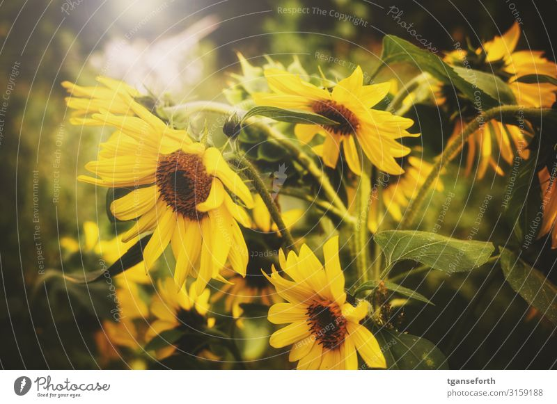 sunflowers Environment Nature Landscape Plant Flower Leaf Blossom Agricultural crop Sunflower Faded Esthetic Authentic Fragrance Elegant Large Beautiful Yellow