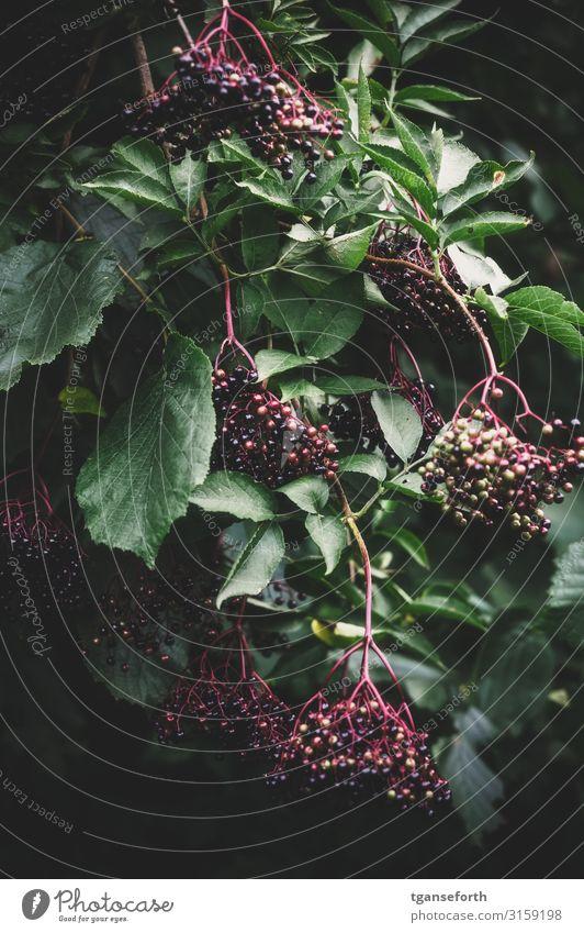 elder Food Fruit Nutrition Organic produce Vegetarian diet Beverage Juice Elder juice Healthy Alternative medicine Healthy Eating Environment Nature Plant