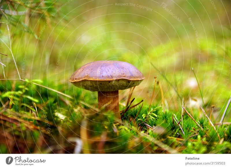 Delicious mushroom Environment Nature Landscape Plant Elements Autumn Grass Moss Meadow Forest Bright Near Natural Warmth Brown Green Mushroom Mushroom cap