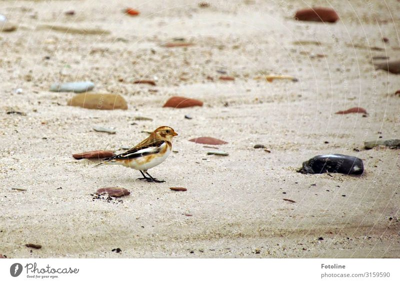 Snow Bunting Environment Nature Animal Elements Earth Sand Coast Beach North Sea Wild animal Bird 1 Free Bright Small Near Natural Brown Stone Helgoland Dune