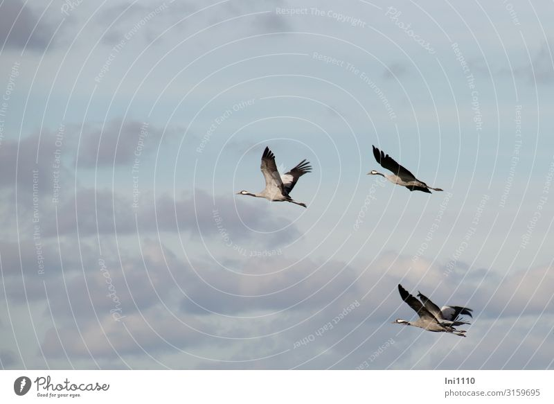 Group of cranes flying in the sky with clouds Landscape Sky Clouds Autumn Beautiful weather Field Wild animal Bird Grand piano Group of animals Flying