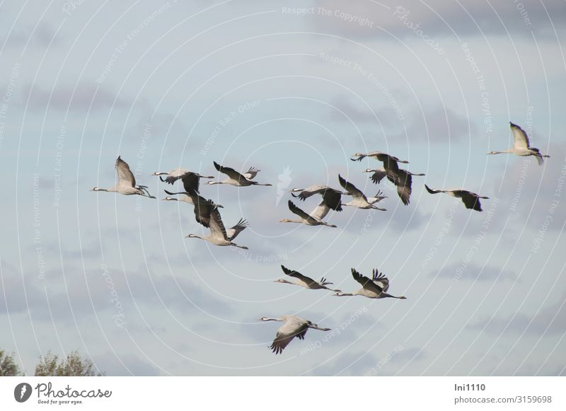 Group of cranes flying in the sky with clouds Nature Air Autumn Beautiful weather Field Wild animal Bird Grand piano Group of animals Flying Blue Gray Black