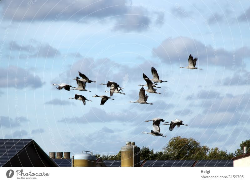 a flock of cranes flies in front of a blue sky with clouds over an agricultural building Environment Nature Plant Animal Sky Clouds Autumn Beautiful weather