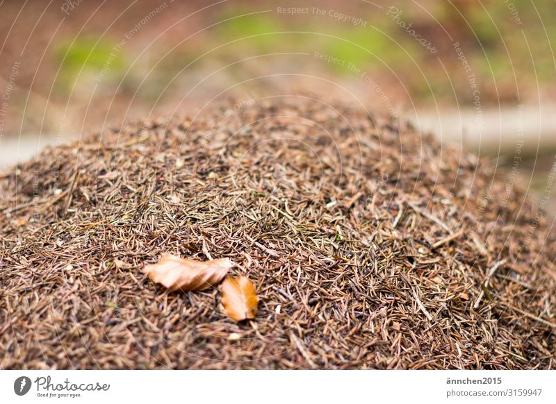 Ant-hill in the middle of the forest ants animals Nature Forest Exterior shot leaves Leaf Brown anthill fir needles Green
