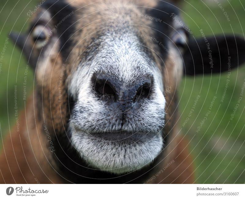 Curious sheep's head Sheep Muzzle Snout Nose Hair Head Curiosity Close-up Eyes suck sheep domestic Nostrils Upper lip Lower lip Mammal Farm animal Lamb Brown