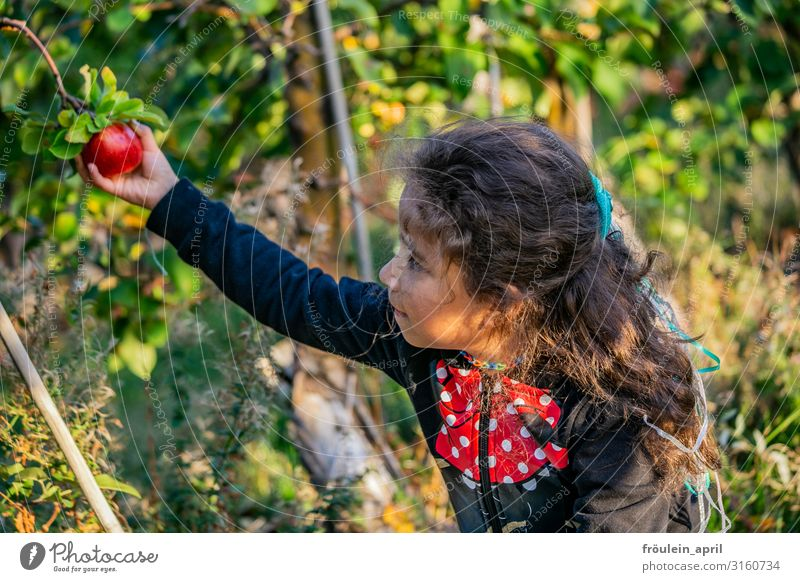 apple harvest Food Fruit Apple Nutrition Vegetarian diet Living or residing Garden Feminine Child Girl 1 Human being 3 - 8 years Infancy Nature Plant Tree