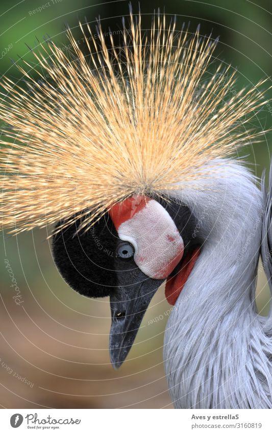 ortrait of a gray crowned crane (Balearica regulorum) Bird Crane Crow Animal Crown Nature Gray Wild Gamefowl Beak Head Feather Portrait photograph Beautiful