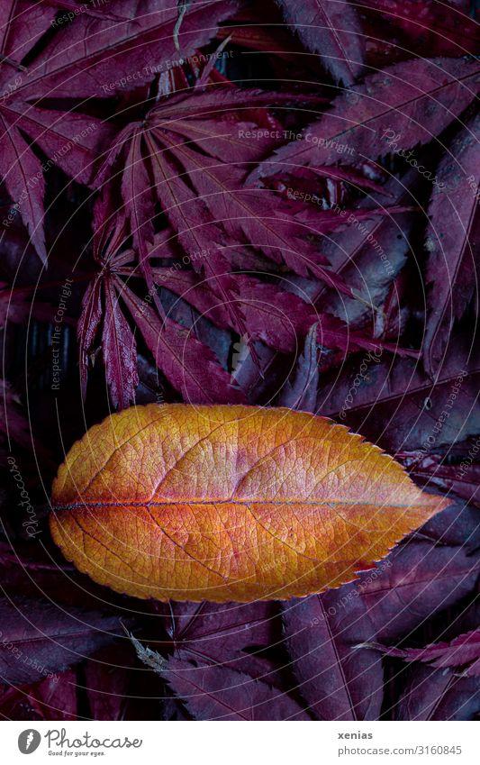 Decorative apple leaf on red maple leaves Maple tree Nature Autumn Leaf ornamented apple Apple tree leaf Maple leaf Garden Park Yellow Orange Red Autumn leaves