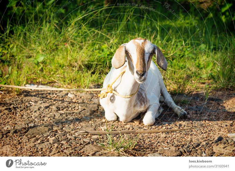 Lying tied goat, Aleppuzha, India Vacation & Travel Tourism Far-off places Sightseeing Summer Nature Sunlight Foliage plant Exotic Animal Farm animal 1 Idyll