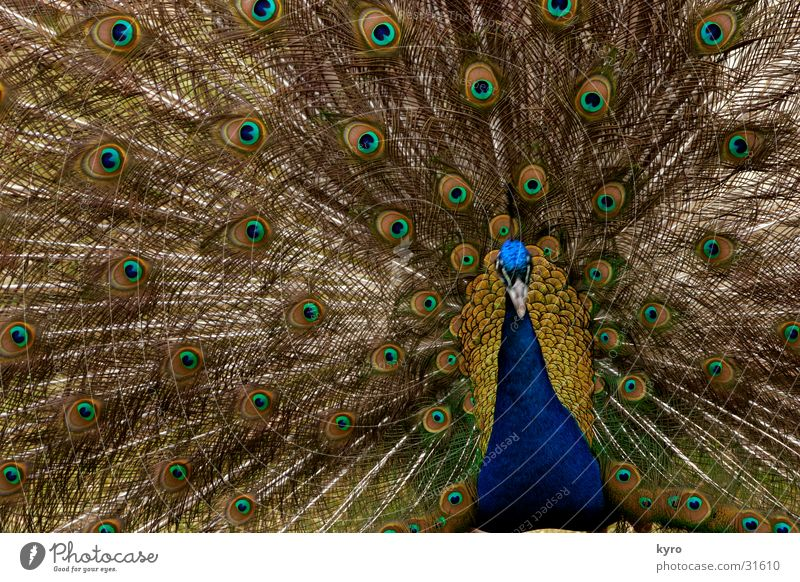 Green Blue Colour Bird Free Circle Round Feather Zoo Beak Beat Peacock Rutting season Rosette Concentric