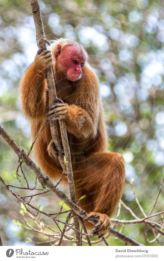 Red Uakari Vacation & Travel Tourism Adventure Expedition Nature Beautiful weather Plant Tree Virgin forest Wild animal Animal face Pelt 1 Sadness Survive