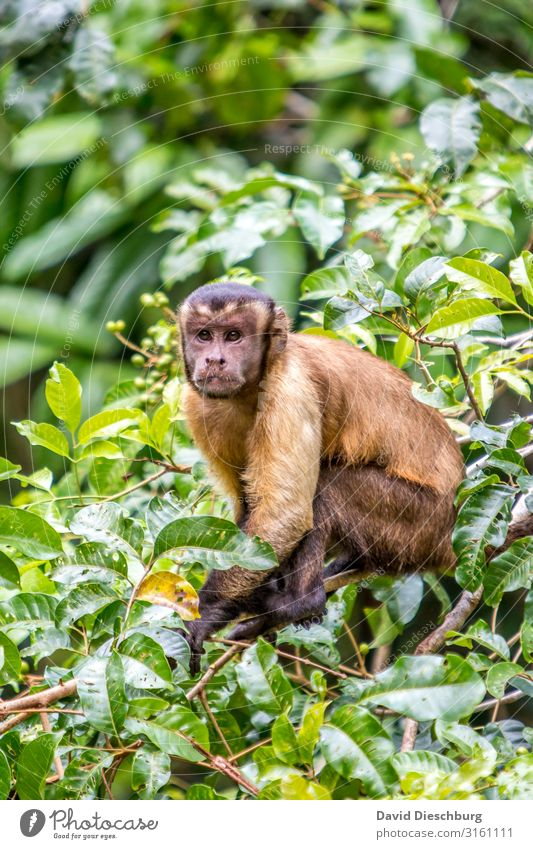 Crested Capuchin Vacation & Travel Adventure Expedition Nature Plant Animal Beautiful weather Tree Forest Virgin forest Wild animal Animal face Pelt 1
