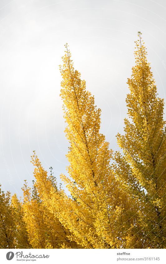 autumn Nature Plant Autumn Tree Warmth Leaf Colouring Gold Yellow Oregon Colour photo Multicoloured Exterior shot Deserted Copy Space left Copy Space top