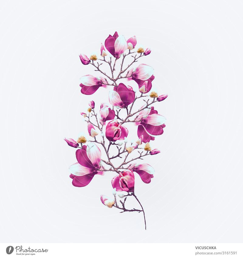 Magnolia flowers with purple blossom on white Design Plant Spring Flower Blossom Decoration Bouquet Magnolia plants Magnolia blossom Twig Bright background