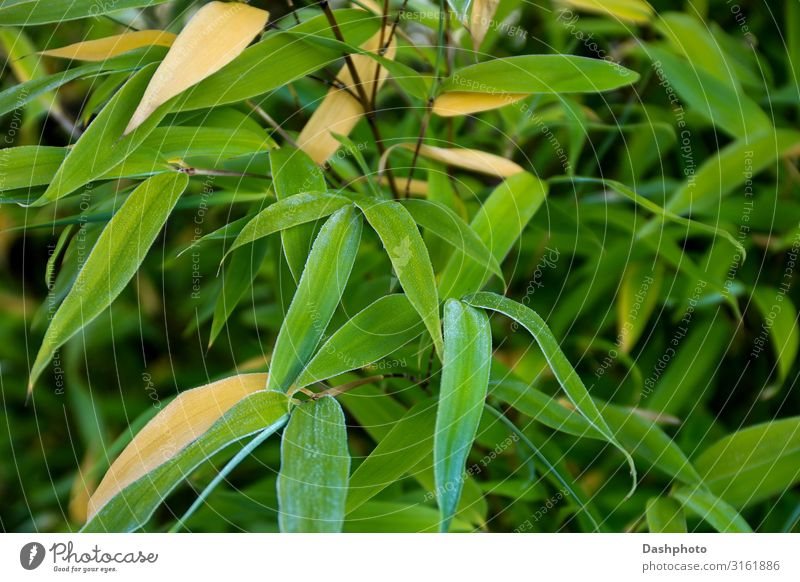 Frosty Bamboo Leaves Close Up View Exotic Garden Nature Plant Tree Grass Leaf Natural Green Black bamboo leaves ice flora and fauna Tropical selective focus