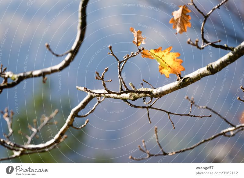 autumn thoughts Nature Plant Autumn Tree Leaf Hill Rock Hang Natural Multicoloured Yellow Longing Saxon Switzerland Autumn leaves Autumnal To hold on Oak tree