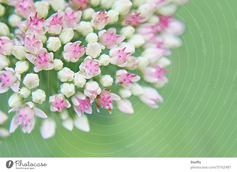 Summer Macro Environment Nature Plant Flower Blossom Garden plants Blossoming Small Near Natural Beautiful Green Pink White Summer feeling