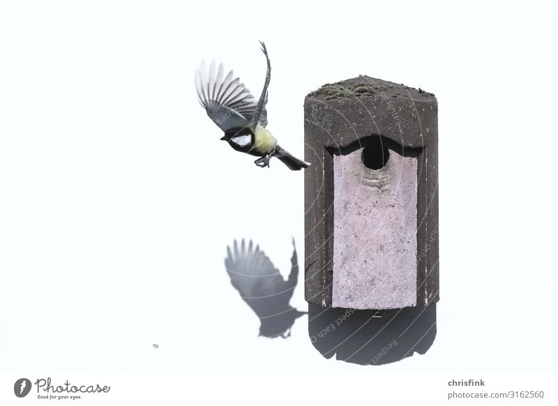 Great Tit leaves nest box Aviation Environment Animal Detached house Airplane Bird Tit mouse 1 Animal family Flying Feeding Living or residing Gray