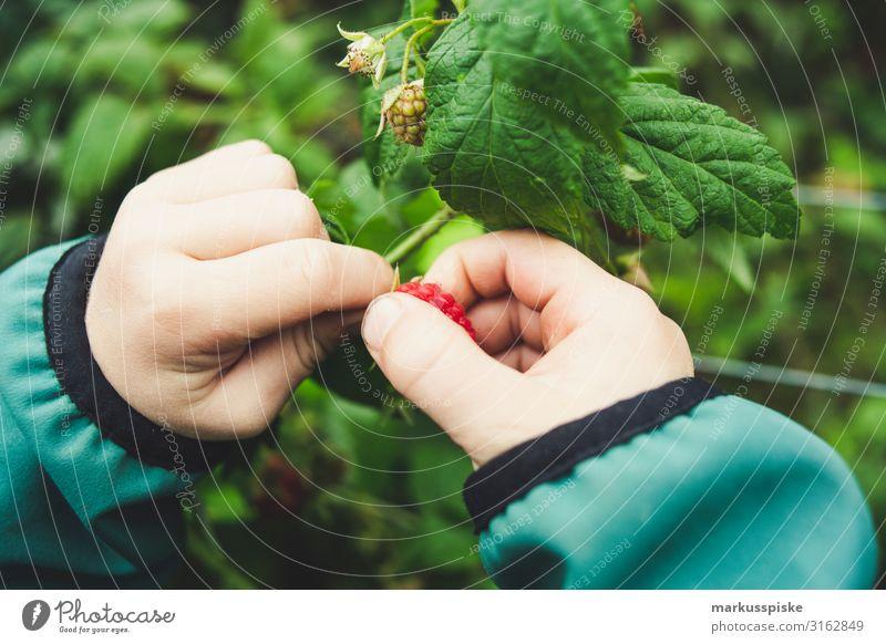 Boy picks fresh organic raspberries Food Fruit Raspberry Raspberry bush Raspberry leaf Nutrition Eating Organic produce Vegetarian diet Diet Fasting Finger food