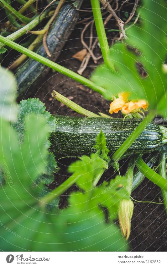 Fresh organic zucchini Food Vegetable Zucchini Zucchini blossom Nutrition Eating Organic produce Vegetarian diet Diet Fasting Slow food Joy Happy Healthy