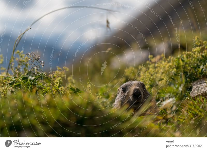 The interested marmot Happy Trip Adventure Mountain Hiking Nature Animal Autumn Beautiful weather Bushes Wild plant Animal face Marmot 1 Observe Looking Wait