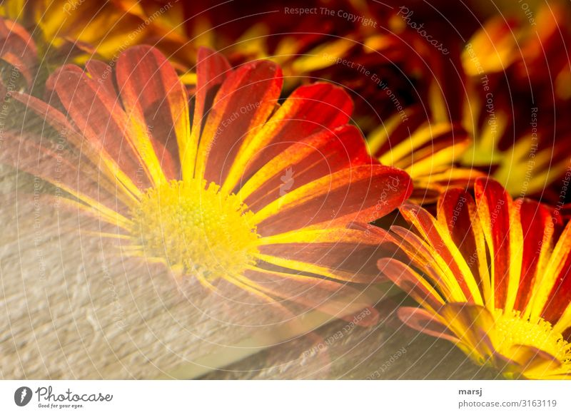 Flowering Chrysantems flowers blossom Flowering plant Summer Spring spring awakening Illuminate Red Yellow Orange Striped strange passing Colour photo Blossom
