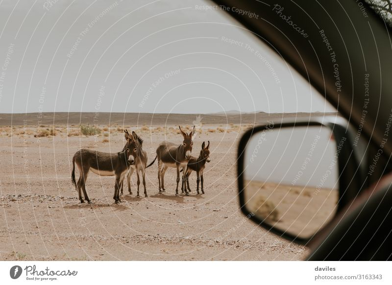 Beautiful group of donkeys in the desert. Vacation & Travel Nature Summer Landscape Sun Animal Environment Family & Relations Freedom Group Stone Sand Car