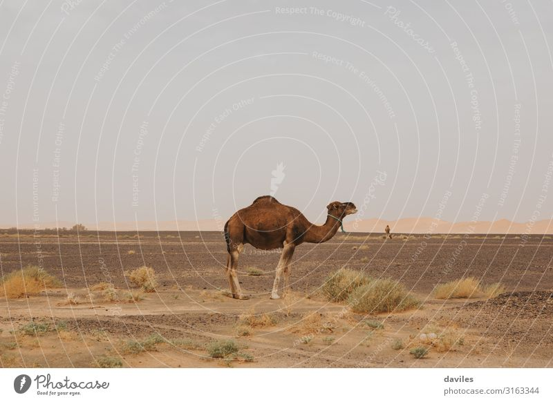 Side face of beautiful dromedary in the desert. Vacation & Travel Nature Summer Landscape Animal Warmth Tourism Brown Sand Trip Stand Adventure Tradition Africa