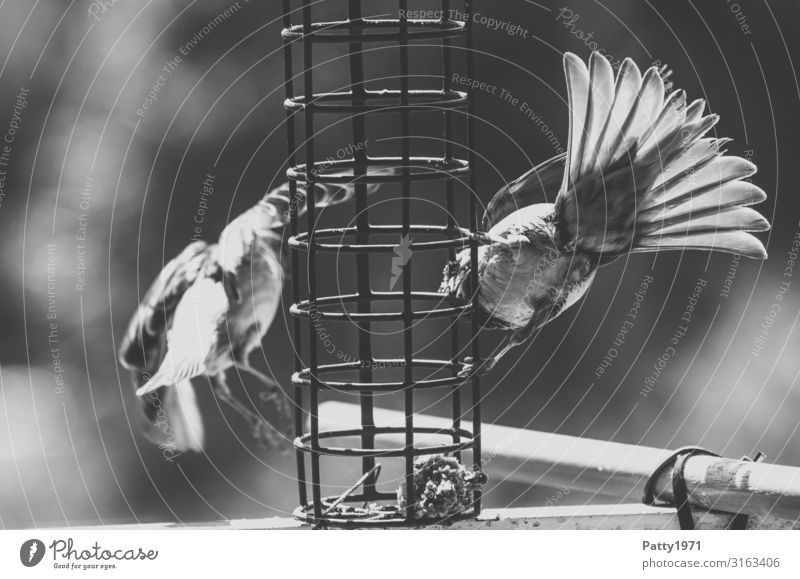 Sparrows at the feeding place Animal Wild animal Bird 2 Flying To feed Feeding Nature Black & white photo Exterior shot Close-up Deserted Copy Space left Day