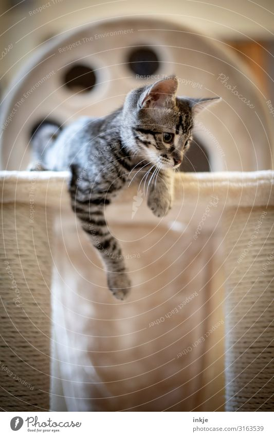 Emmy Pet Cat 1 Animal Baby animal cat tree Lie Looking Authentic Small Curiosity Cute savannah Colour photo Subdued colour Interior shot Close-up Deserted Day