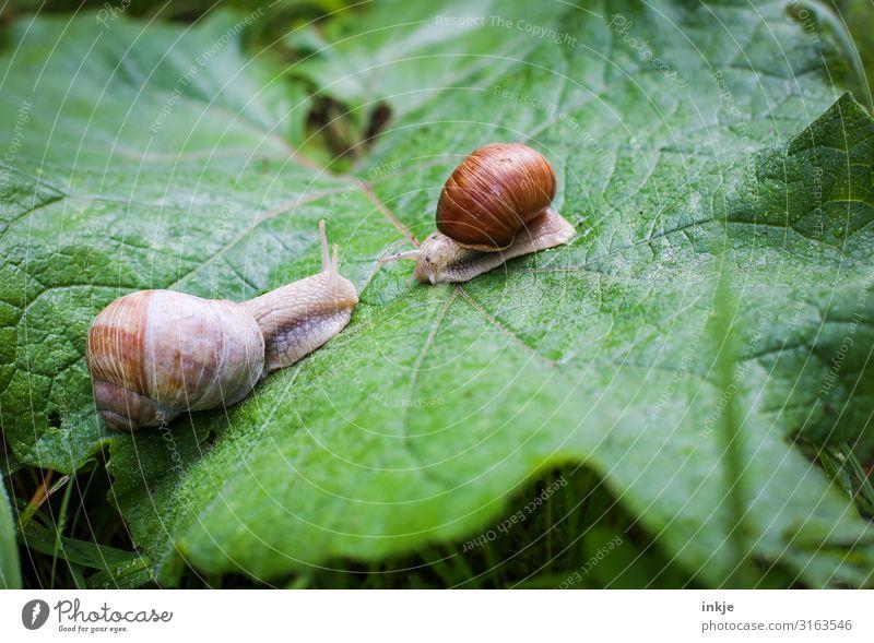 escargots Leaf Wild animal Snail 2 Animal Pair of animals Authentic Natural Curiosity Crawl Encounter Opposite Similar Vineyard snail Colour photo Exterior shot