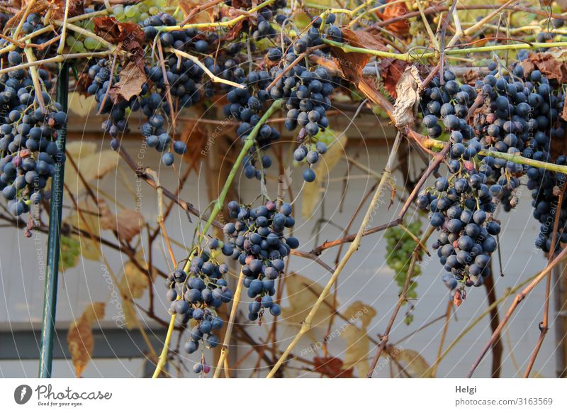 ripe dark red grapes grow on the wall of a terrace Food Fruit Bunch of grapes Environment Nature Plant Agricultural crop Vine Wall (barrier) Wall (building)