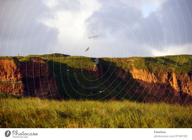Red Rock Helgoland Environment Nature Landscape Plant Elements Earth Beautiful weather Grass Meadow Animal Wild animal Bird Free Natural Brown Green Gull birds