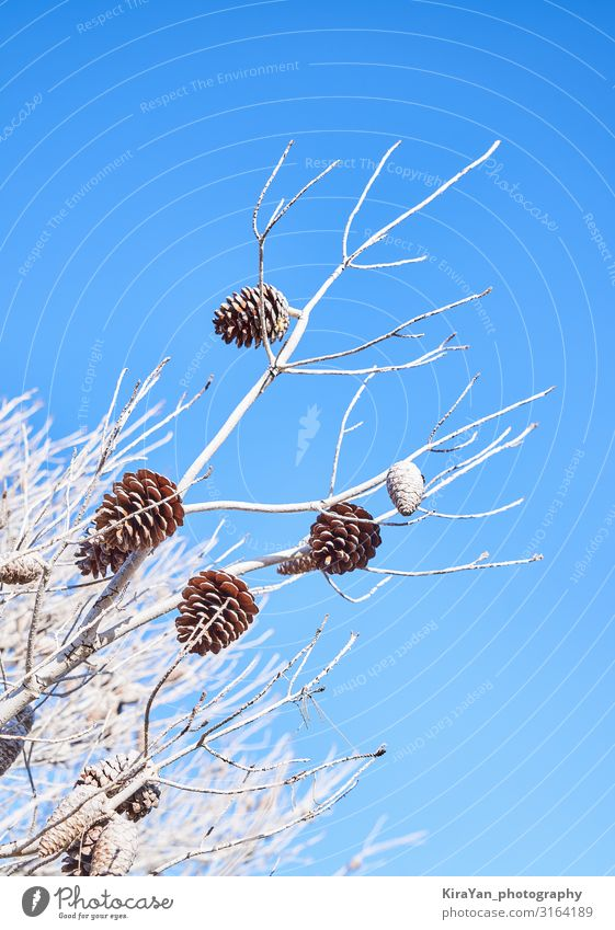 Blue backdrop with pine branches and pine cone Winter Snow Decoration Feasts & Celebrations Christmas & Advent New Year's Eve Art Nature Plant Autumn Tree Leaf