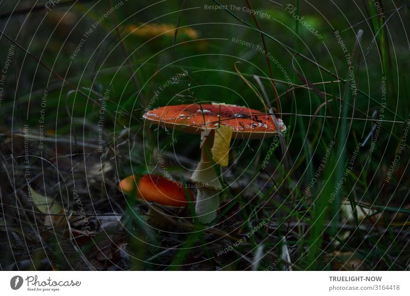 Eugh | Large and small toadstool in the undergrowth surrounded by dark green grass Toadstools big and small Red White Dark green Grass dim light Forest