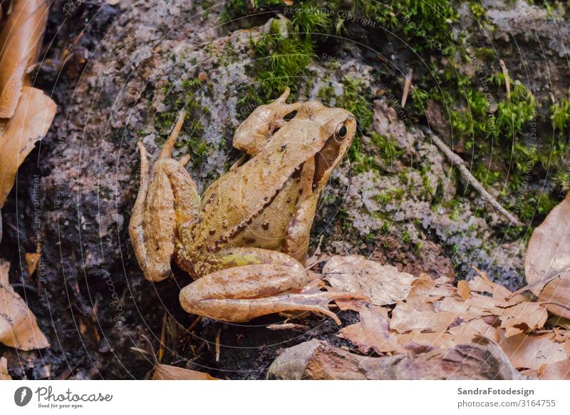 A brown toad sits on the forest floor Style Hiking Garden Nature Animal Earth Bushes Forest Frog Zoo 1 Hunting Jump Wild amphibian wildlife leaf leaves natural