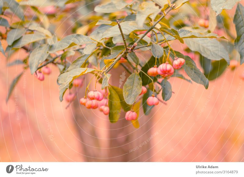 Pacon knob (Euonymus europaeus) Wellness Nature Landscape Plant Autumn Tree Bushes Leaf Blossom Wild plant Common spindle Garden Park Field Forest Blossoming