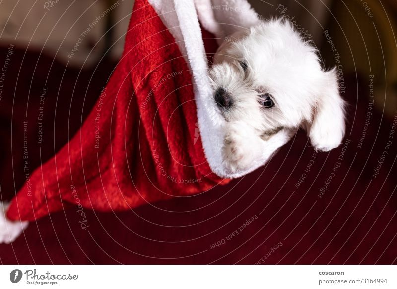 Maltese puppy inside of a Santa's hat on Christmas Dog Christmas & Advent Beautiful White Red House (Residential Structure) Animal Joy Winter Face Baby animal