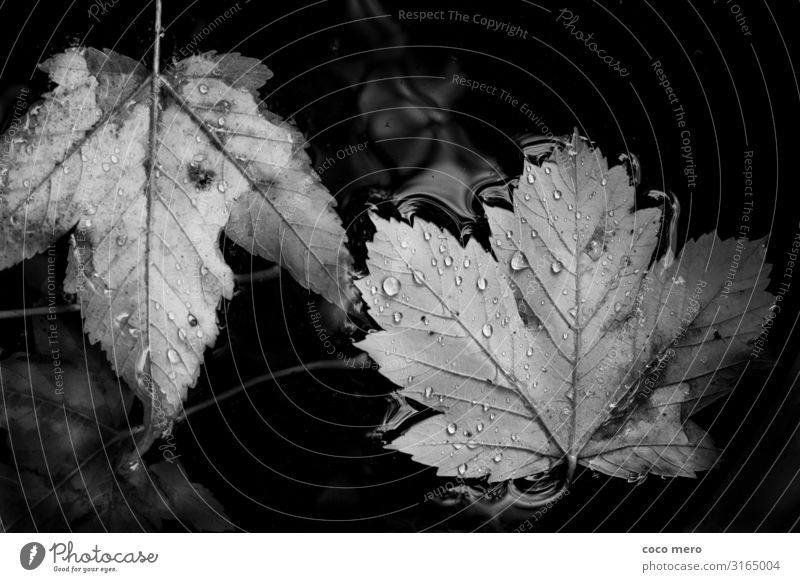 leaves Nature Water Drops of water Autumn Leaf Observe Calm Relaxation Black & white photo Exterior shot Close-up Day Reflection