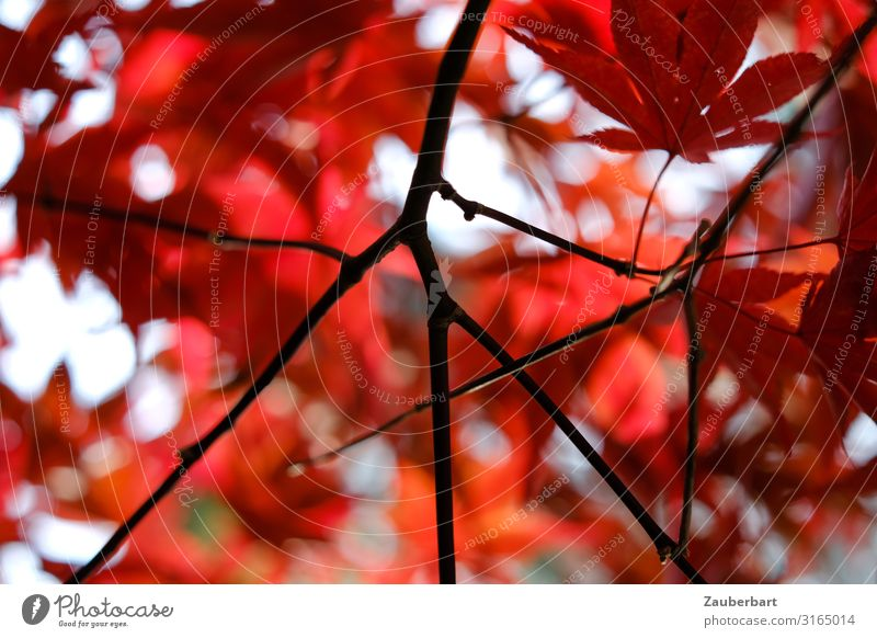 Autumn/red Nature Plant Tree Leaf Maple tree Japan maple tree Twigs and branches Old Relaxation Wait Red Black Peaceful Contentment Colour Change Delicate
