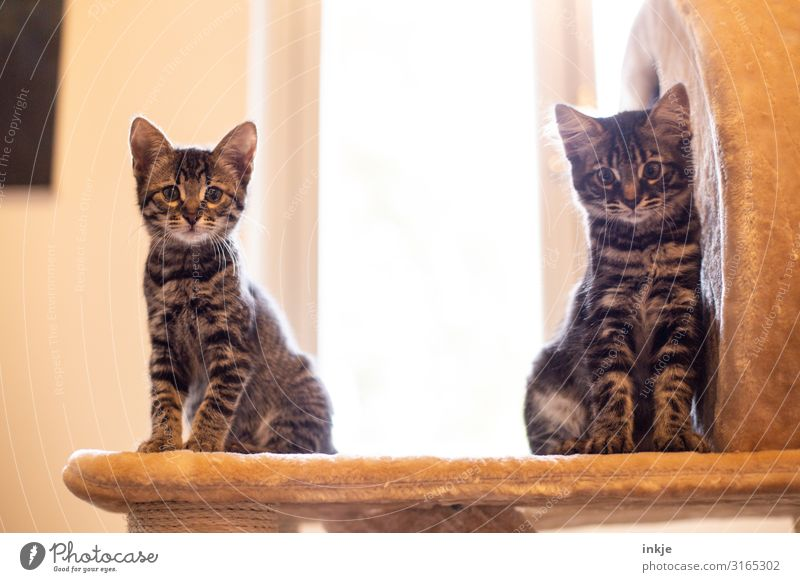 Emmy and Smilla Pet Cat 2 Animal Pair of animals Baby animal Looking Authentic Tall Small Curiosity Cute cat tree purebred cat savannah Colour photo